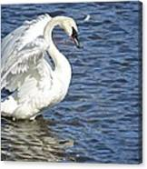 Swan Feather Canvas Print