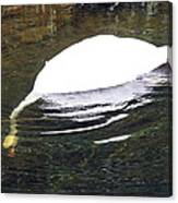 Swan Hunting For Dinner Canvas Print