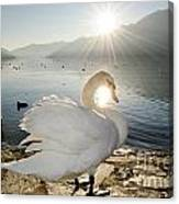 Swan In Sunset Canvas Print