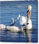 Swan Mom And Cyngets Canvas Print