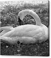 Swan Nap Canvas Print