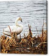 Swan On Shore Canvas Print