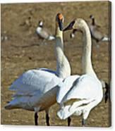 Swan Pair Canvas Print