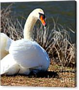 Swan Protects Her Eggs Canvas Print
