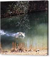 Swan Skid Canvas Print