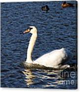 Swan Swim Canvas Print