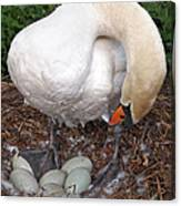 Swan Watching Over The Eggs Canvas Print