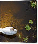 Swan With Sun Reflection On Water. Canvas Print
