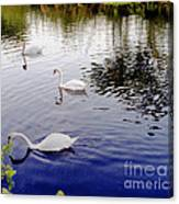 Swan's 3 In A Group. Canvas Print