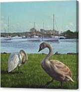 swans at Christchurch harbour Canvas Print