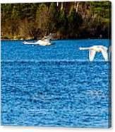 Swans In Flight - Unity Park Canvas Print