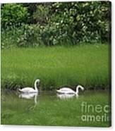 Swans Of Chatham Canvas Print