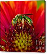 Sweat Bee Collecting Pollen Canvas Print