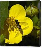 Sweat Bee Canvas Print
