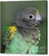 Sweet Baby Meyers Parrot Canvas Print