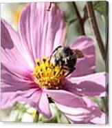 Sweet Bee On Pink Cosmos Canvas Print