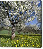 Sweet Cherry Orchard In Full Bloom Canvas Print