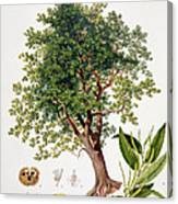 Sweet Chestnut Canvas Print