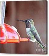 Sweet Little Hummingbird On Feeder Canvas Print