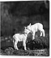 Sweet Little Lambs Canvas Print