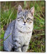 Sweet Little Tabby Kitten Canvas Print
