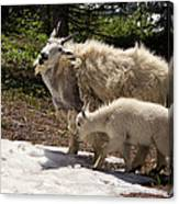 Sweet Mama Goat Canvas Print