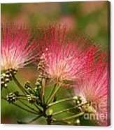 Sweet Mimosa Canvas Print