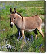 Sweet Miniature Donkey Canvas Print