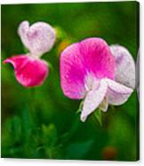 Sweet Pea Blossoms Canvas Print