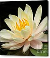Sweet Peach Water Lily Canvas Print