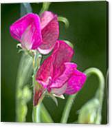 Sweet Peas Canvas Print