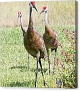 Sweet Sandhill Crane Family Canvas Print