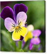 Sweet Violet Canvas Print