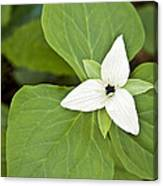 Sweet White Trillium Canvas Print