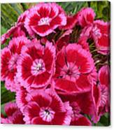 Sweet William Has A Pink Eye Canvas Print