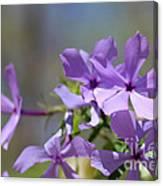 Sweet William Purple Wildflower Springtime Canvas Print