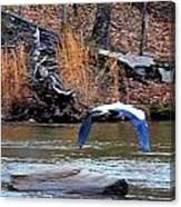 Sweetwater Heron In Flight Canvas Print