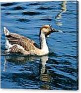 Swimming African Brown Goose Canvas Print