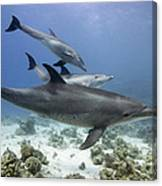 swimming Bottlenose dolphins Canvas Print