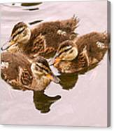Swimming Ducklings Canvas Print