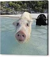 Swimming Pigs Canvas Print