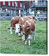 Swiss Cows Canvas Print