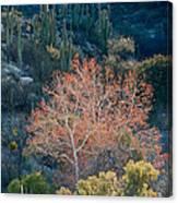 Sycamore And Saguaro Cacti, Arizona Canvas Print