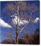 Sycamore On The Hill Canvas Print