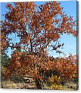 Sycamore Tree In Fall Colors Canvas Print