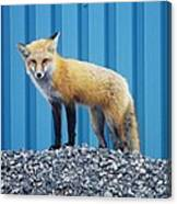 Sydney Fox Canvas Print