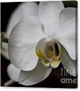 Symphony White Orchid Canvas Print