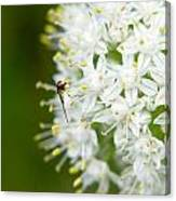 Syrphid Feeding On Alliium Blossom Canvas Print