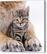 Tabby Kitten Between Large Dogs Paws Canvas Print