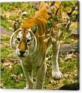 Tabby Tiger IIi Canvas Print